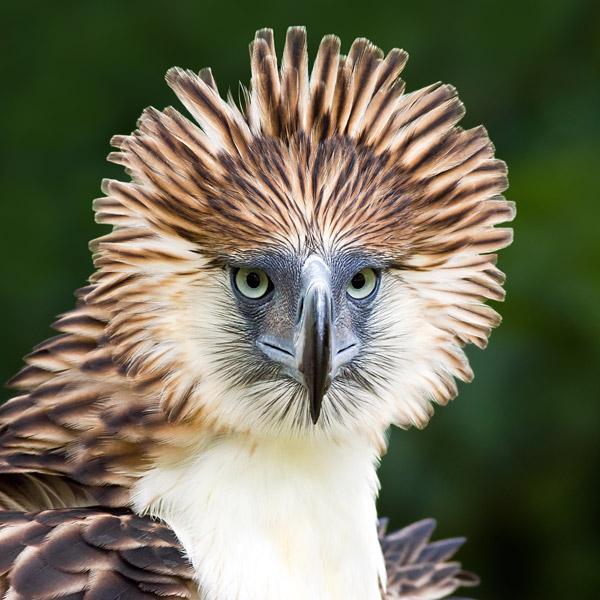 0410.Philippine-Eagle-3_ALAIN-PASCUA.600.jpg