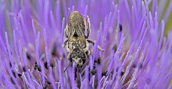 Bioblitiz bee on flower (credit:Sir Cam)